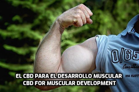 El CBD para el Desarrollo Muscular